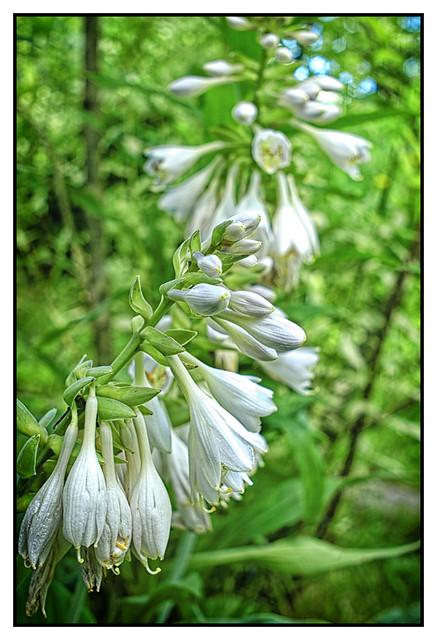 Flowering Hosta_DSC_4500
