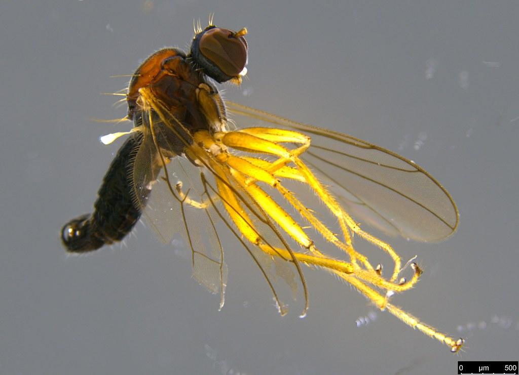 6a - Ocydromiinae sp.