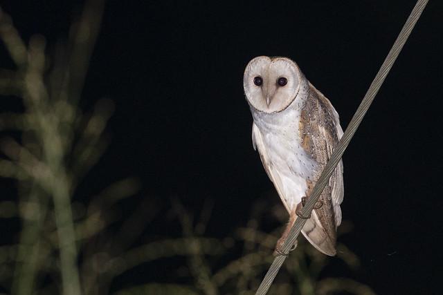 Eastern Barn Owl / Tyto alba