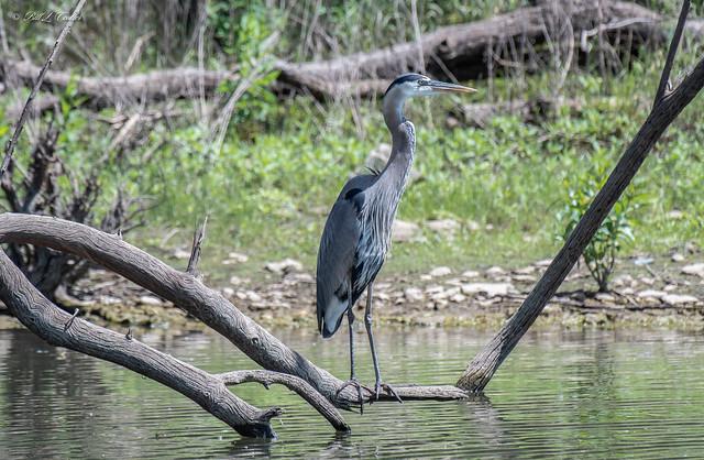 20210622-8633=AG - Great Blue Heron - Hillsdale Lake Kansas