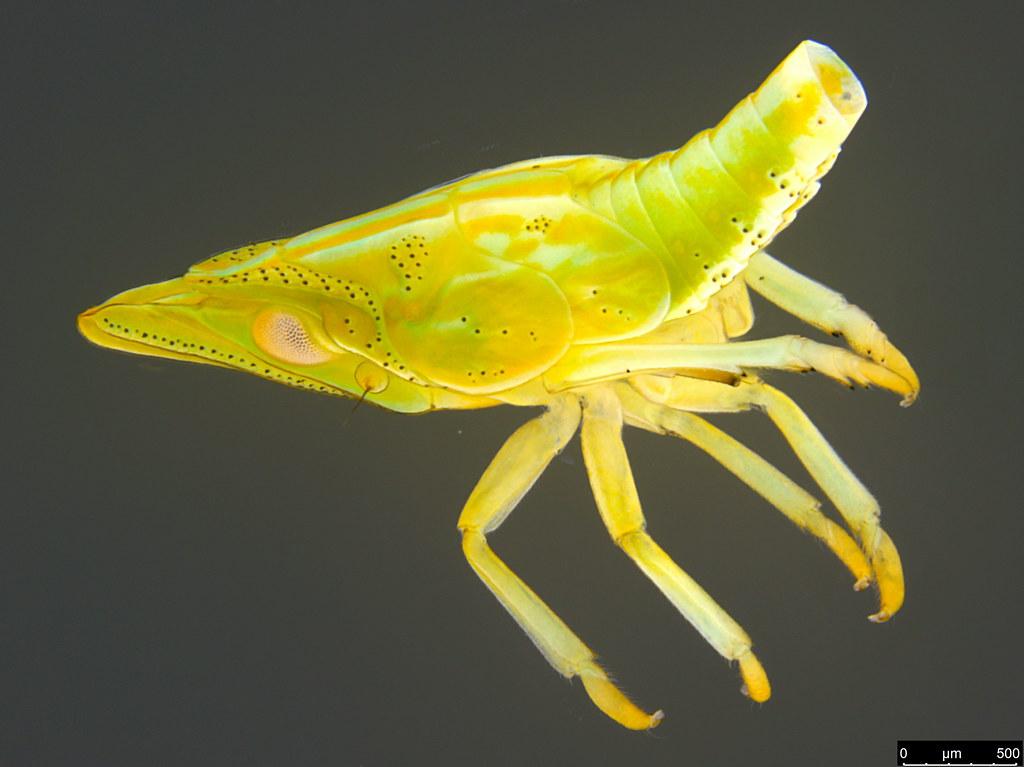 10a - Hemiptera sp.