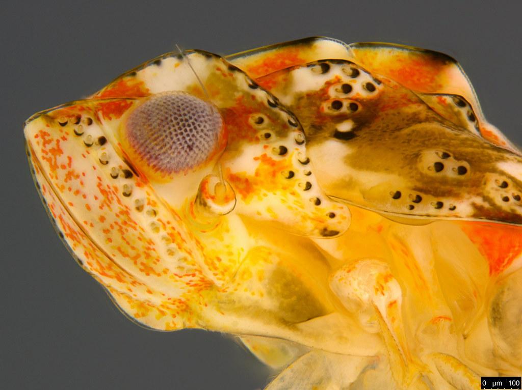 11d - Flatidae sp.