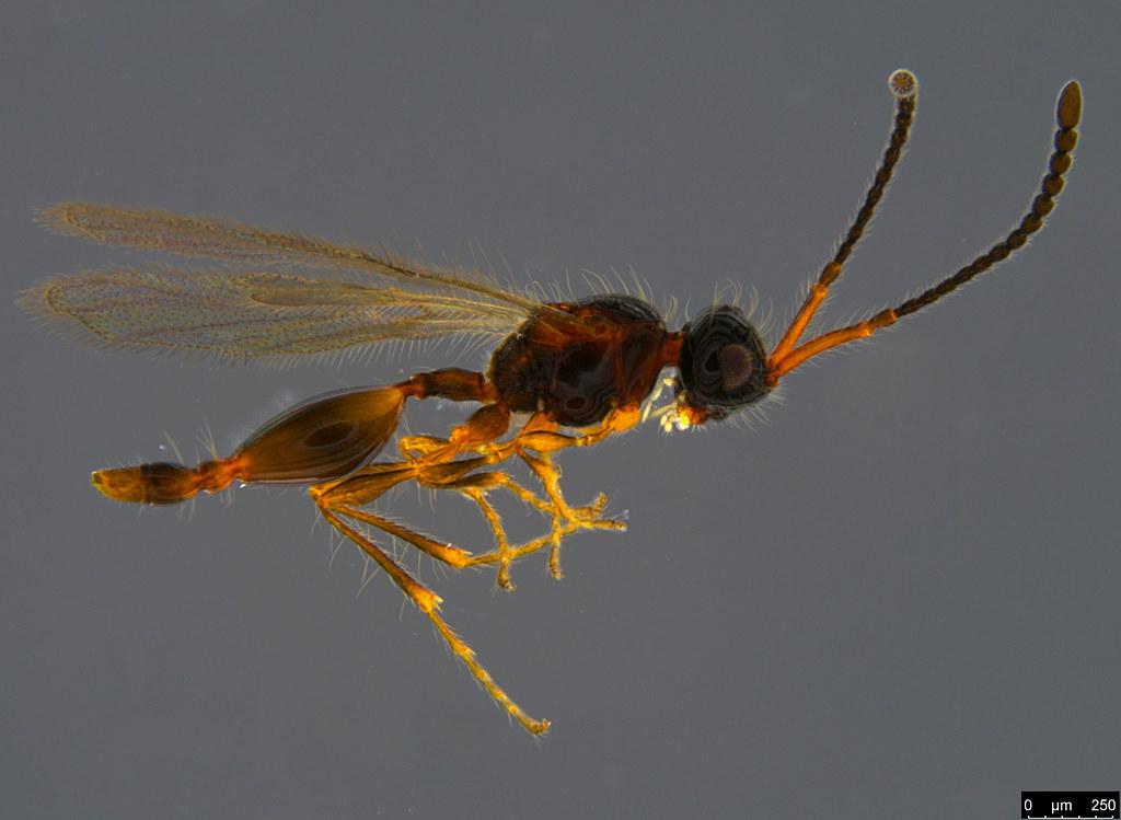 16a - Stylaclista sp.