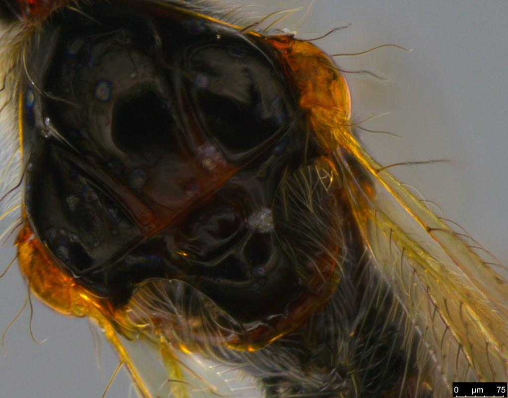 17e - Diapriidae sp.