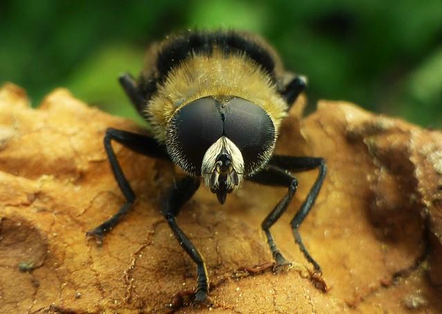 Hairy Eyed Fly..x