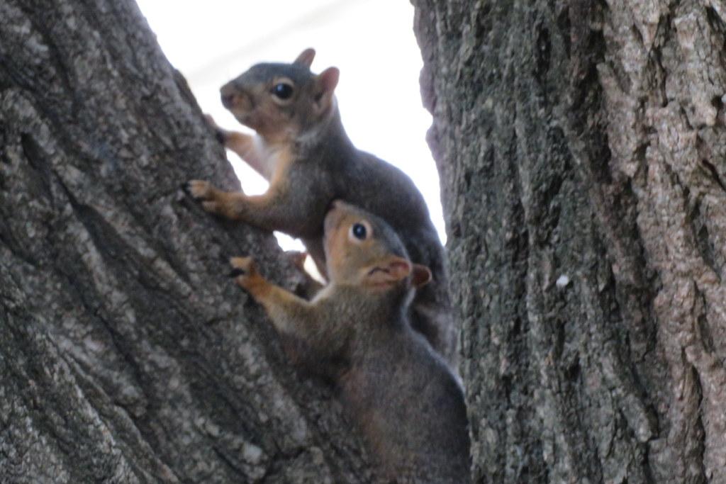 67. Fox Squirrel