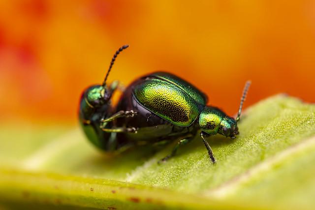 Dogbane Leaf Beetles