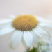 Soft Focus Daisy