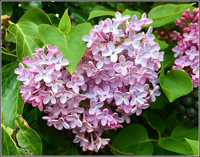 Lilac Flower  ( syringa  vulgaris )
