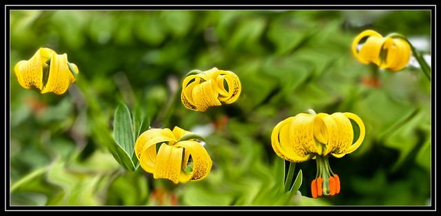 Tiger Lilies!