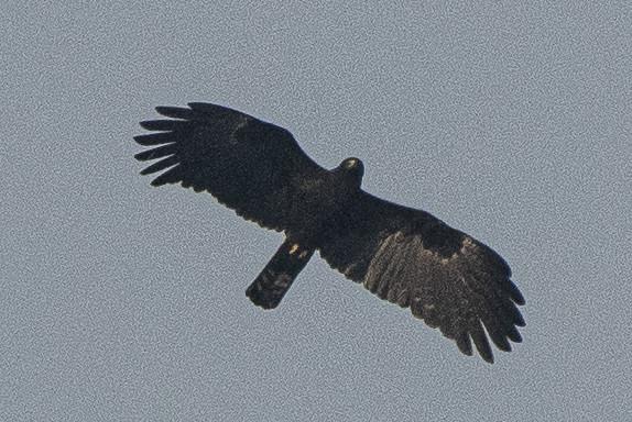 Sikkim South Birds-49 - Ictinaetus malaiensis