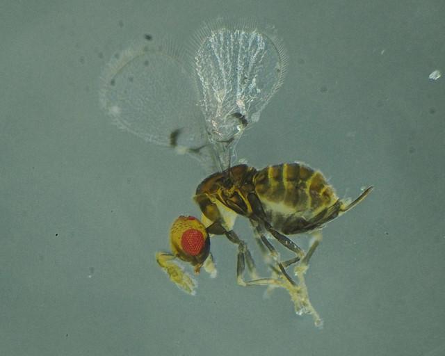 Ophioneurus signatus