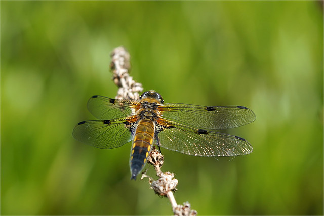 four point dragonfly