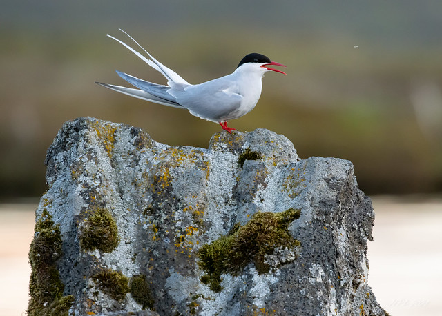 Arctic Tern / Kría
