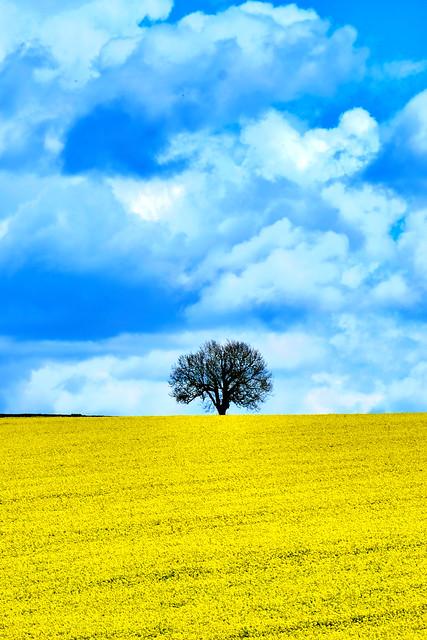 Lone tree in Rapeseed field  Shropshire.