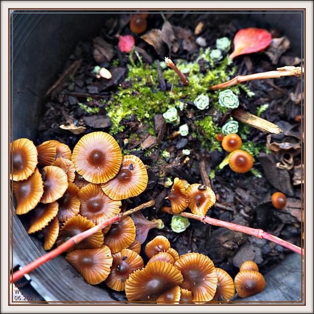 Small brown Fungi in a plant pot