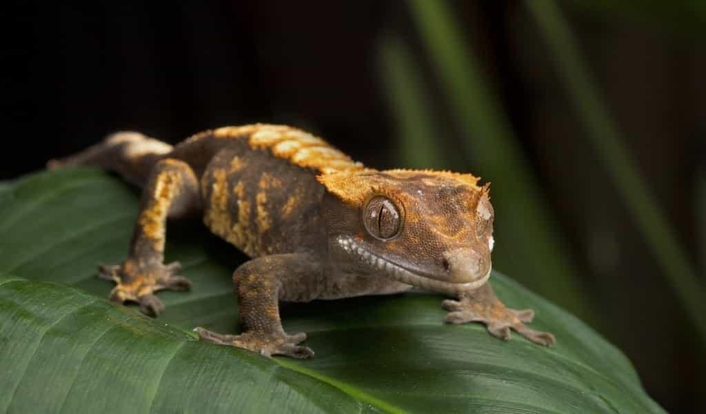 Certains geckos utilisent leur queue comme un «cinquième pied»