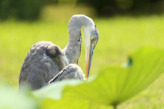 Grey heron in the lotus pond