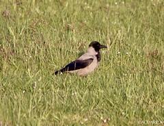Hooded crow (Corvus cornix) // Corneja cenicienta