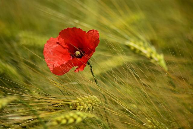 Poppy flower in grain field #16
