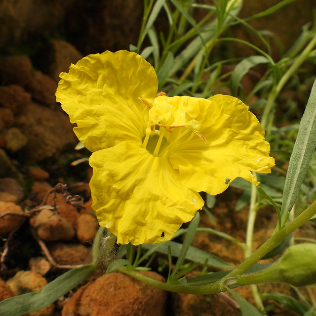 2021-06-15 Calylophus lavandulifolia - BG Teplice