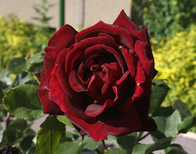 Beautiful Rose in the Goethehof Courtyard