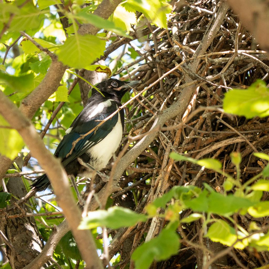juvenile magpie beside nest
