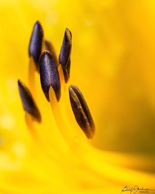 New Golden Lily Stamen