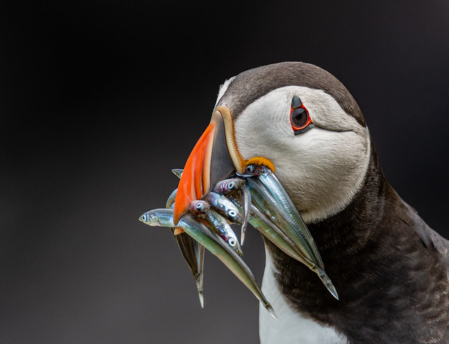 Atlantic Puffin waits for a prospective mate with a bill full of Sandeels.