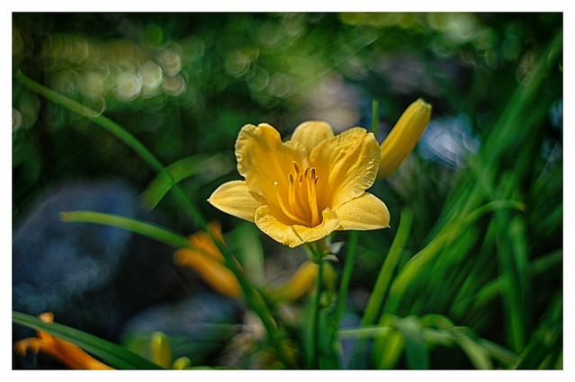 Daylily at the Pond_ DSC_4401
