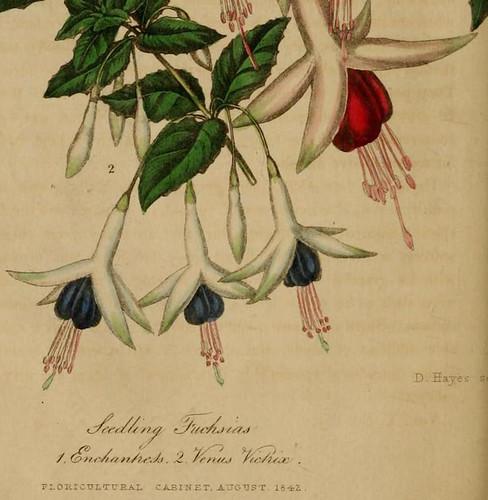 Fuchsia venus victrix