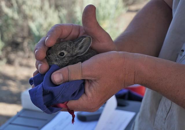 Columbia Basin Pygmy Rabbit in Hand
