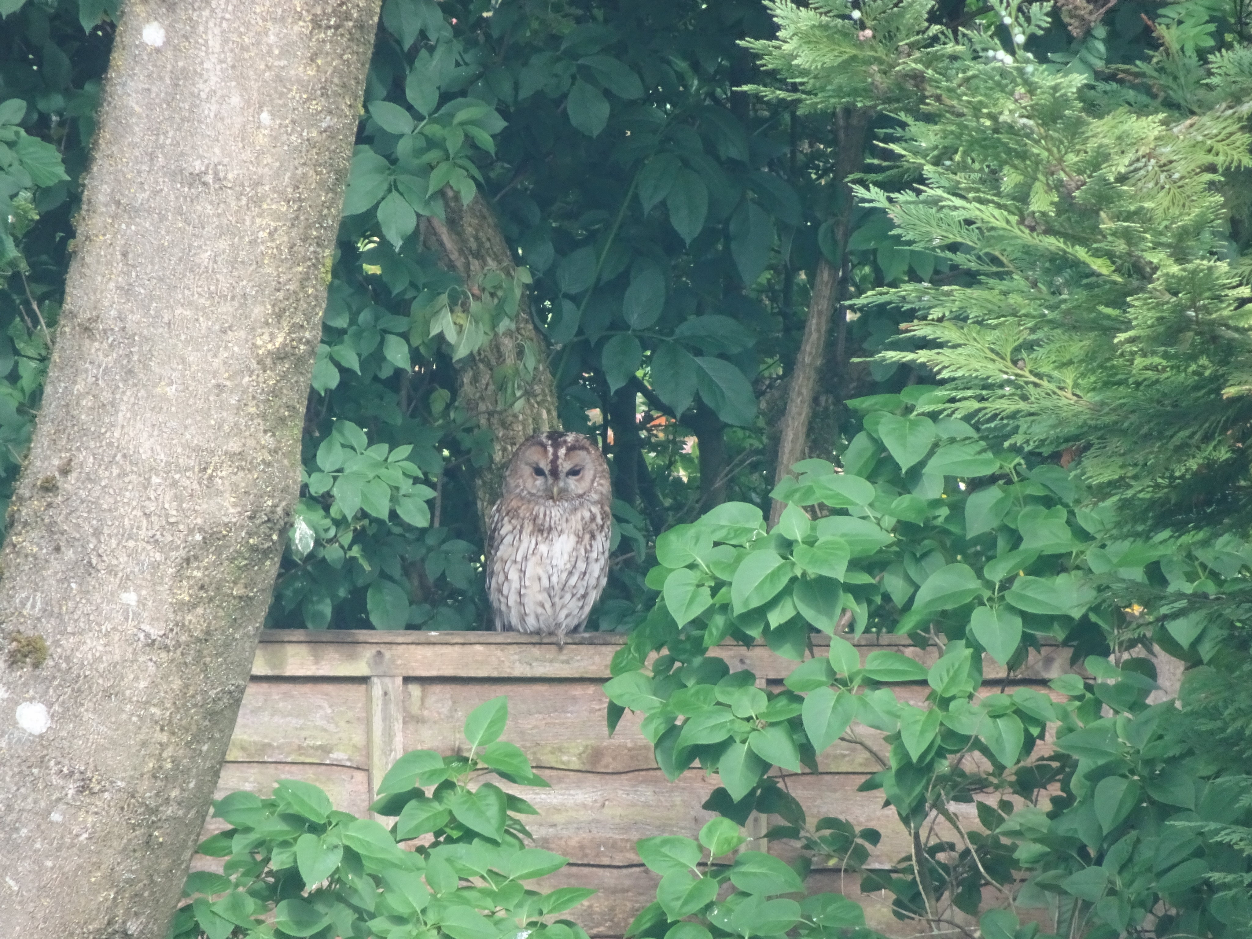 Tawny Owl on the fence