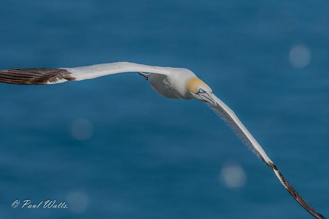 (Northern) Gannet (Morus bassanus)