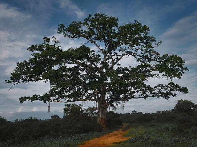 Udawalawe's tree