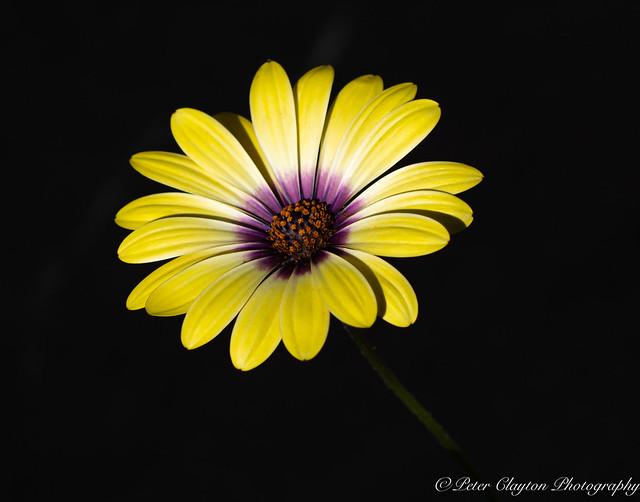 Osteospermum or African Daisy