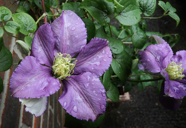A Drop or Two Rain On The Clematis