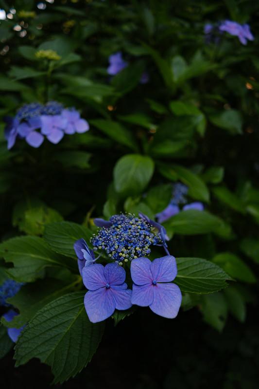 Hydrangea blooming scene
