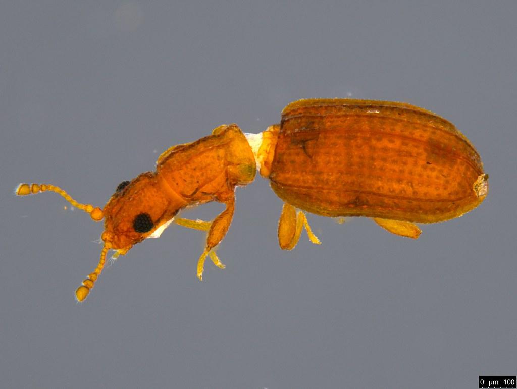 10a - Latridiidae sp.
