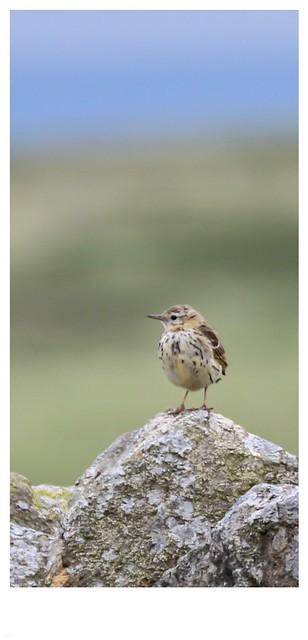 Bird on a wall on a Yorkshire moor