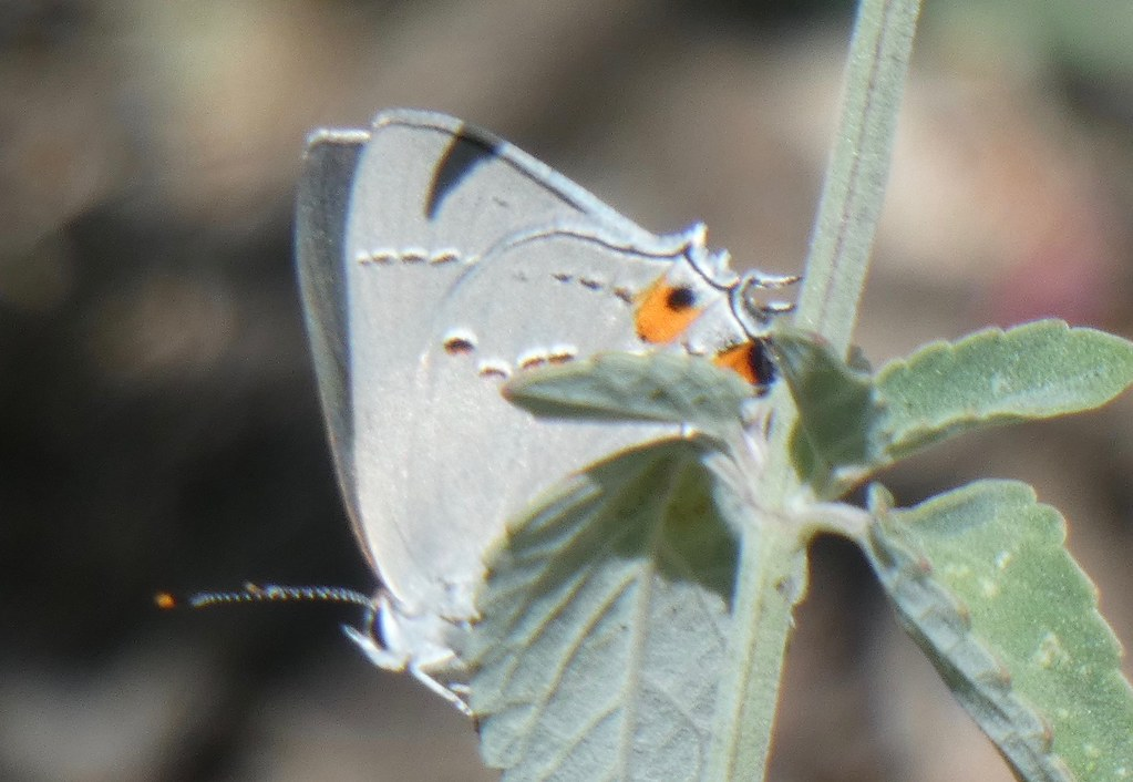 CSan Francisco Bay Area Butterfly in June 2021.No 28.Gray Hairstreak.Alameda Co.,CA(Albany,Ordway St.).