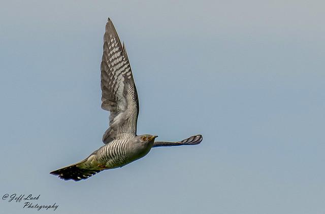 DSC5153  Cuckoo...