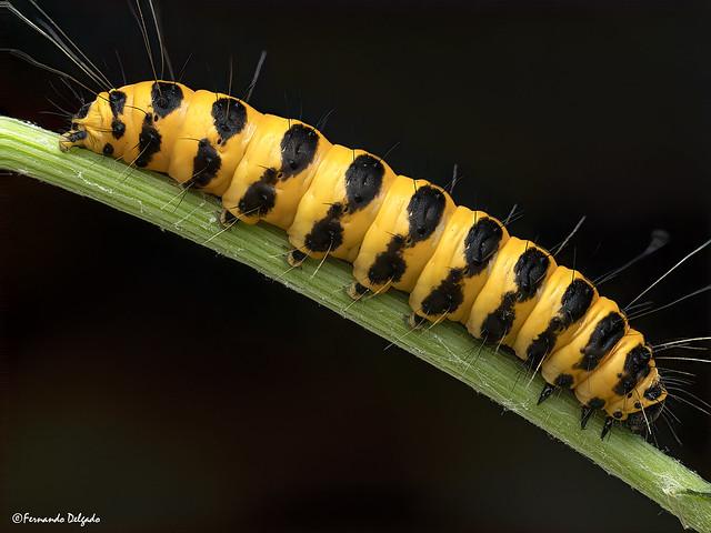 Tyria jacobaeae | Cinnabar moth Caterpillar