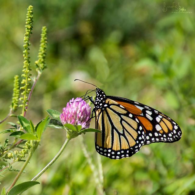A Monarch Moment