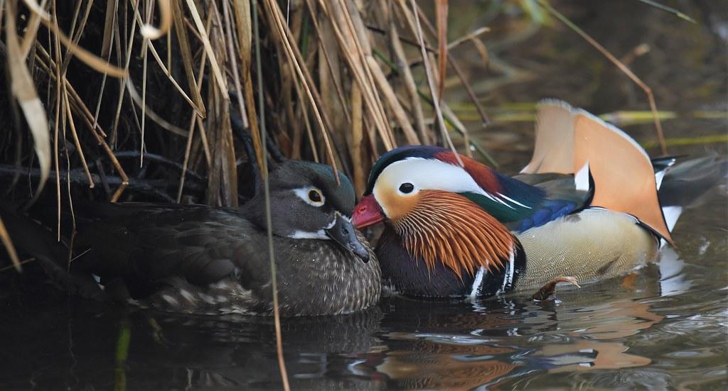 Mandarin Duck and Wood Duck