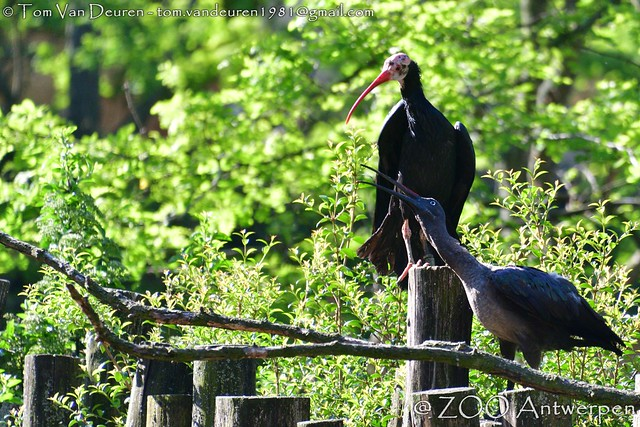 Zuidelijke Kaalkopibis - Geronticus calvus - southern bald ibis + hadada-ibis - Bostrychia hagedash - hadeda ibis
