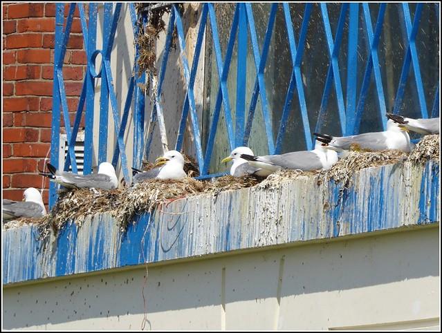 Nesting Sea-Birds ..
