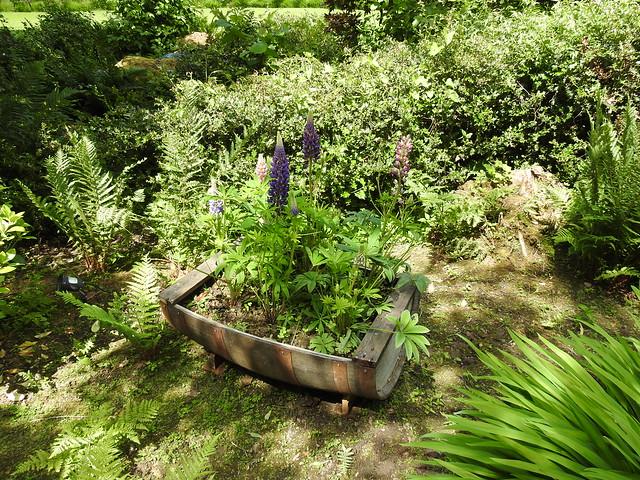 Half a barrel of Lupins. The Garth, Lingfield, Surrey
