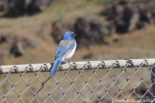 California Scrub-Jay (Aphelocoma californica)