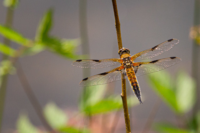 Mr. Four-spotted Chaser